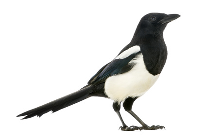 Seeing one magpie is bad luck according to Irish superstition.